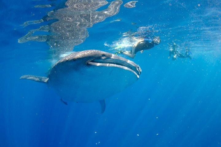 whaleshark madeleine 2011